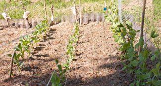 Bondbönor, sockerärtor och brytärtor växer på fint
